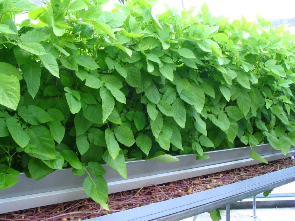 minituber seed potatoes
