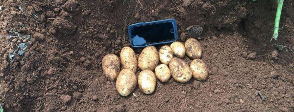 ranger russet seed potatoes