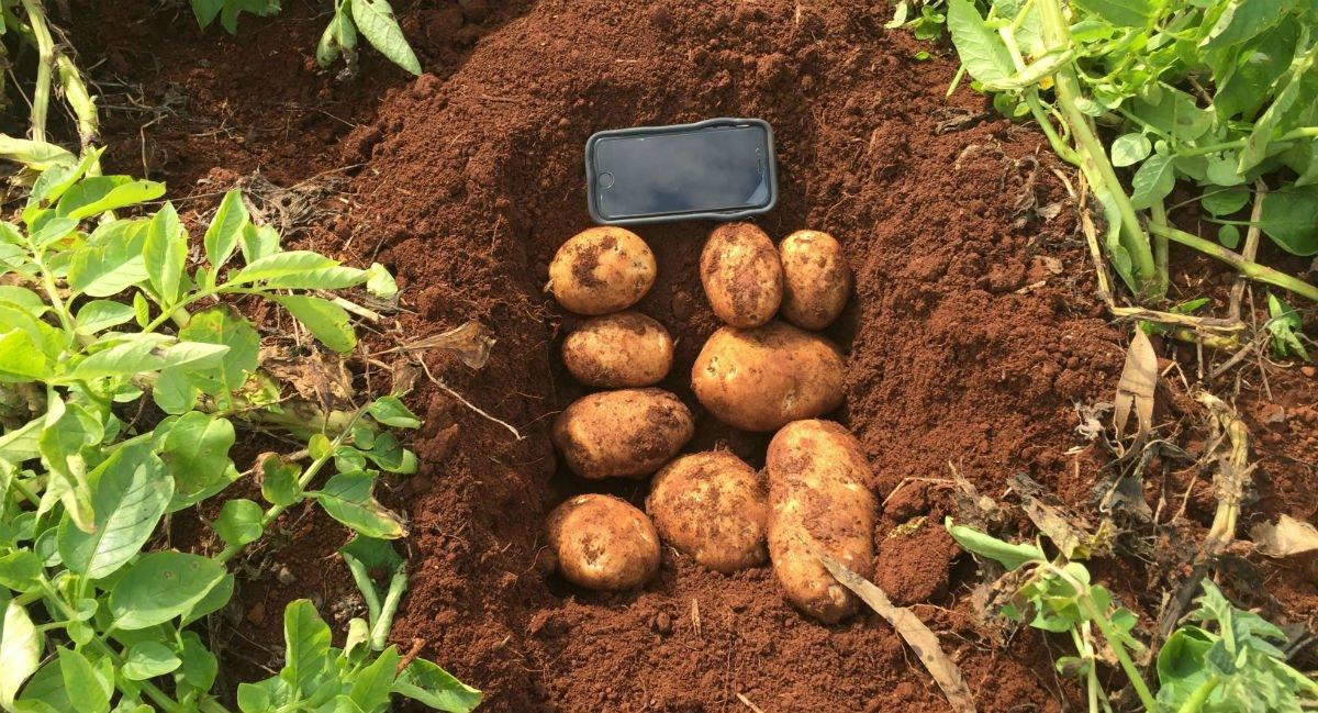 ranger russet potatoes