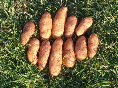 Kipfler Seed Potatoes