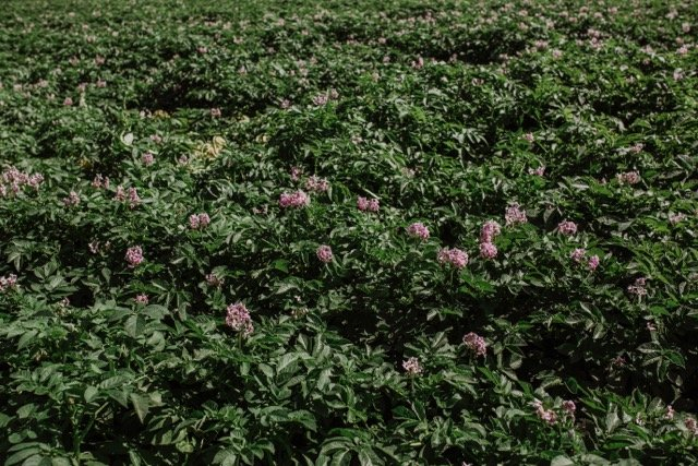 flowering seed potatoes