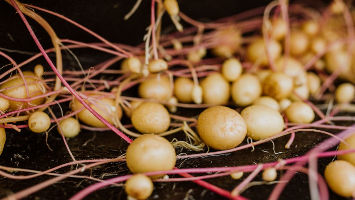 Agronico pushes ahead with plans for large new potato propagation facility at Spreyton