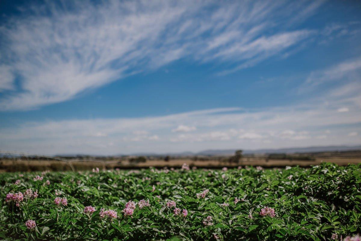 ranger russett flowers