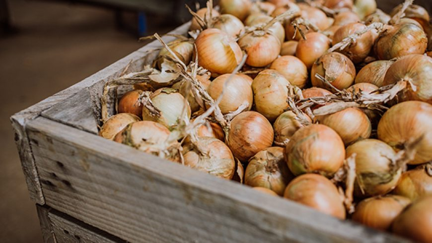 Harvesting and Storing Onions at Agronico