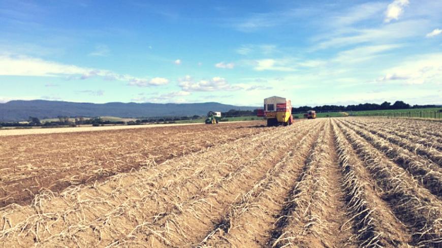 It's potato harvest time