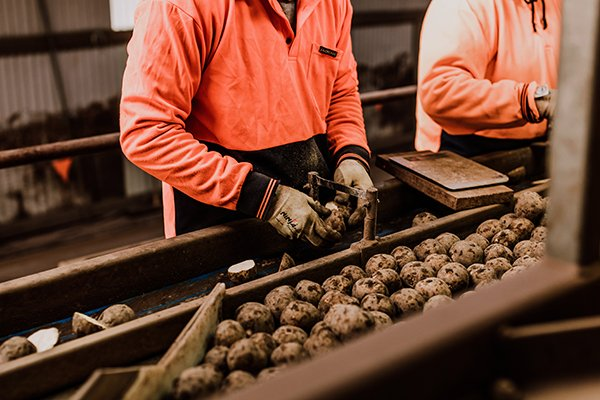Agronico set to double its seed potato production